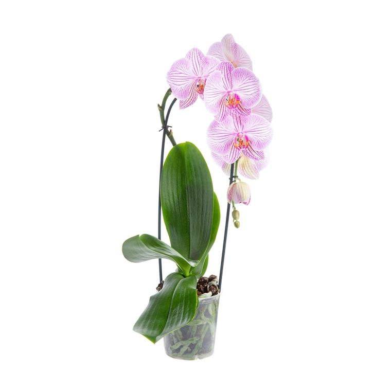 Phalaenopsis cascade multicolore botanic® en pot de 12 cm 658003
