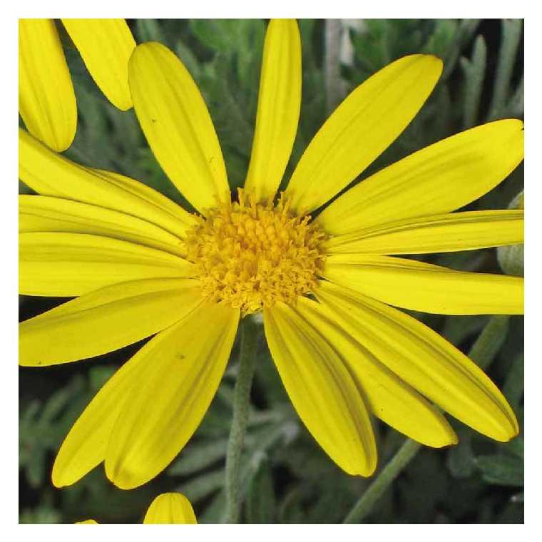 Euryops jaune. Le pot de 9x9 cm 658487