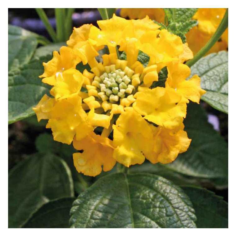 Lantana jaune. Le pot de 9x9 cm 658505