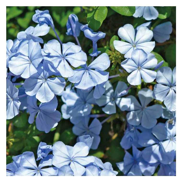 Plumbago du Cap bleu clair. Le pot de 9x9 cm 658516