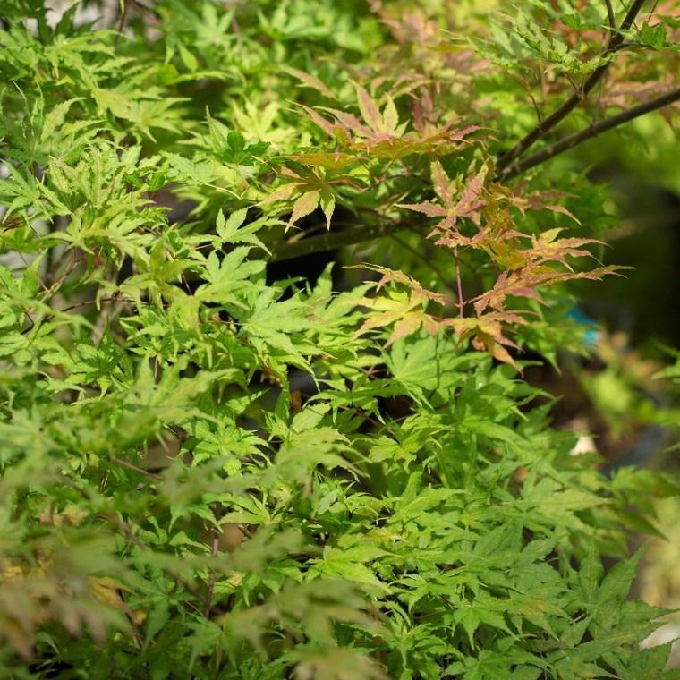 Érable du Japon (Acer Palmatum) Reticulatum. Le pot de 7 litres 662978