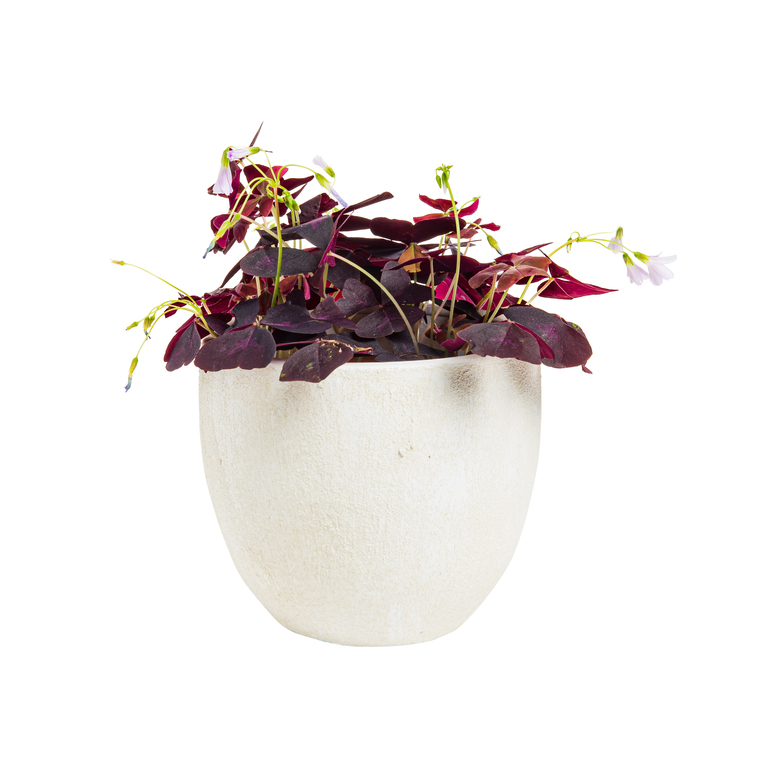 Oxalis Triangularis avec son cache pot en céramique Ø 13 cm 664780