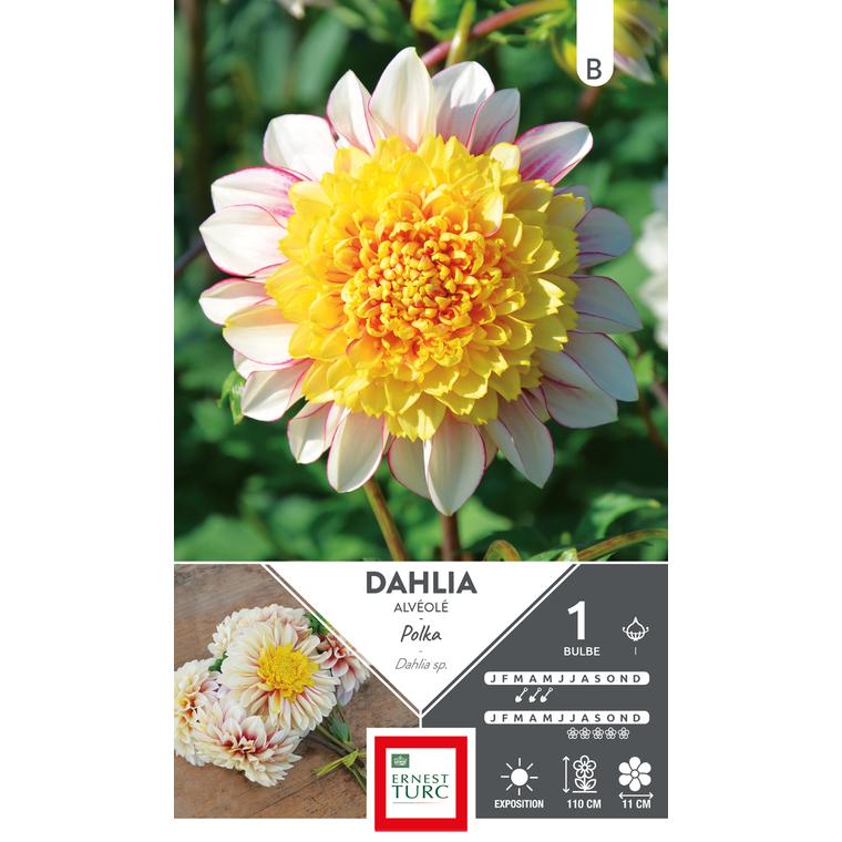 Bulbe de Dalhia à fleurs d'anémone Haut Polka jaune 665431