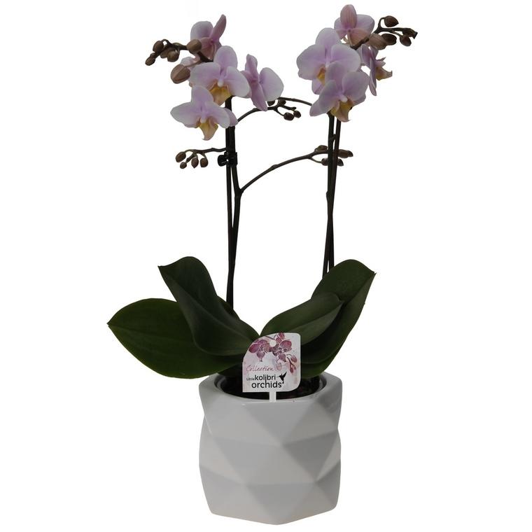 Orchidée Phalaenopsis 2 branches botanic® avec son cache-pot 668780