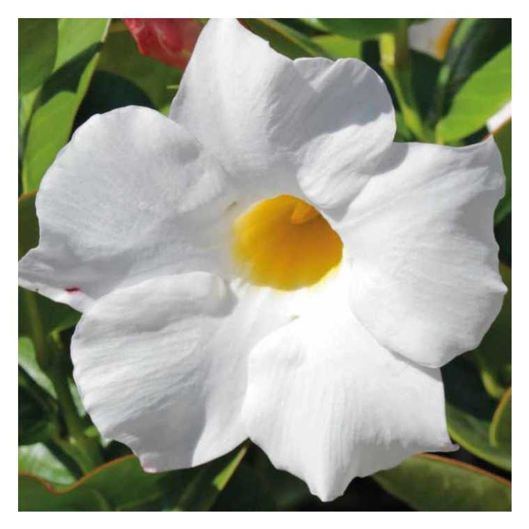 Dipladénia blanc Rio blanc. Le pot de 9x9 cm 670701
