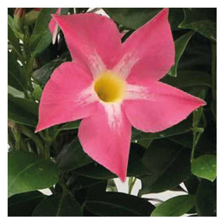 Dipladénia rose Bella Pink Star. Le pot de 9x9 cm 670702