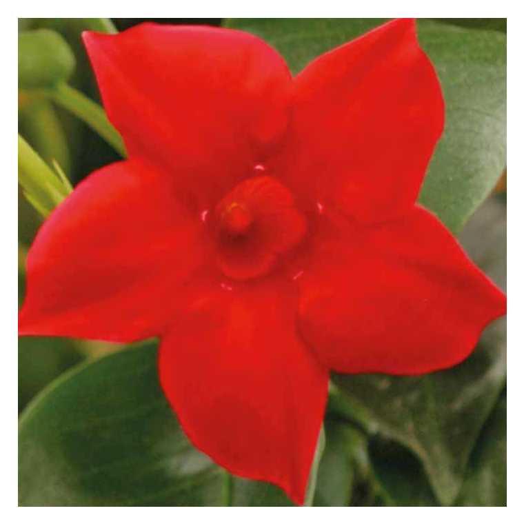Dipladénia rouge Rio Dark Red®. Le pot de 9x9 cm 670704