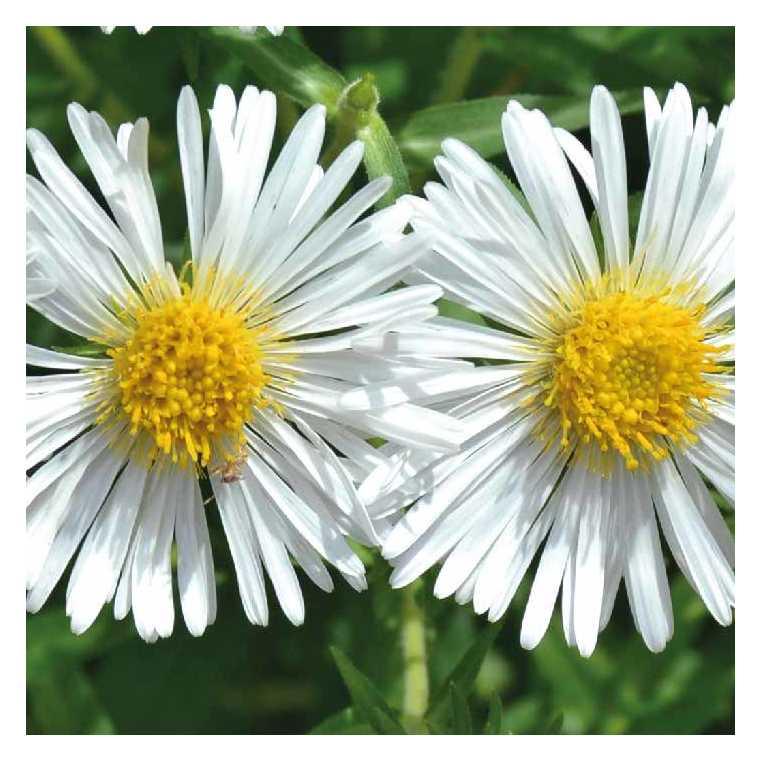 Aster nain d'automne blanc. Le pot de 9x9 cm 673683