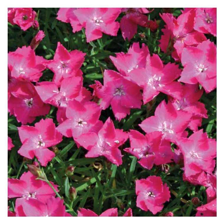 Œillet Kahori rose. Le pot de 9x9 cm 673684