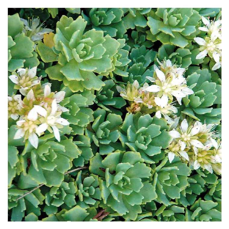 Sedum pachyclados blanc. Le pot de 9x9 cm 673932