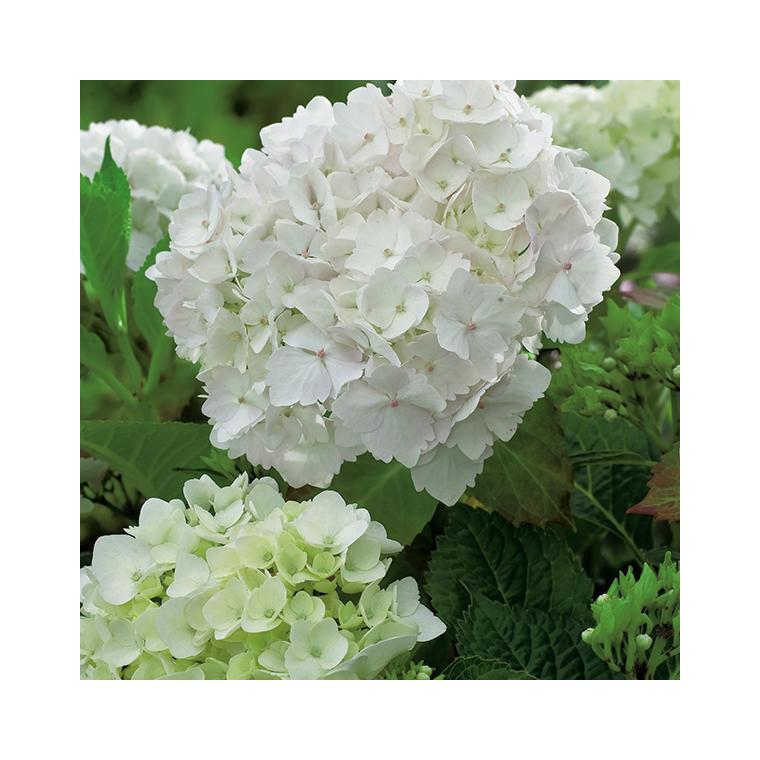 Hortensia à grandes fleurs blanc en pot de 3 litres 675568
