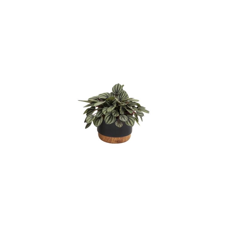Plantes vertes en mix avec cache-pot Ø 6 cm 676809