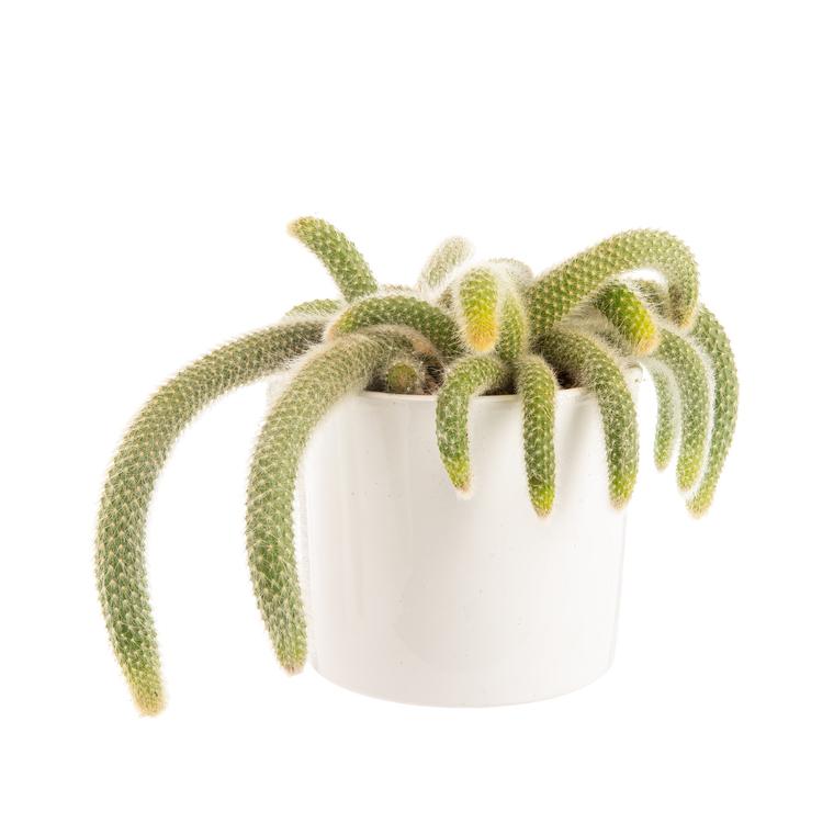Hildewinteria colademononis en pot blanc émaillé H 20 x Ø 20 cm 683960