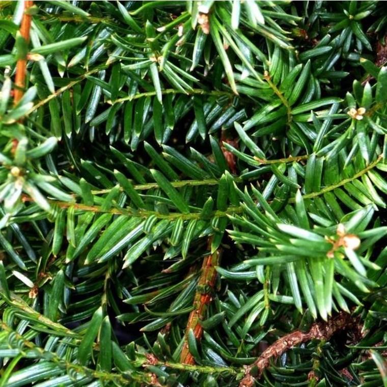 If commun (Taxus Baccata). Le pot de 60 litres 685634