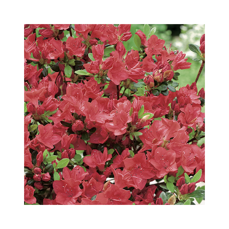 Azalea japonica johanna rouge en pot de 5 L 691418