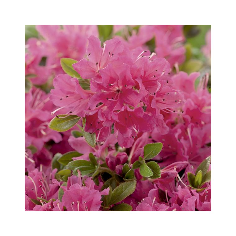 Azalea japonica hino crimson rose en pot de 5 L 691419