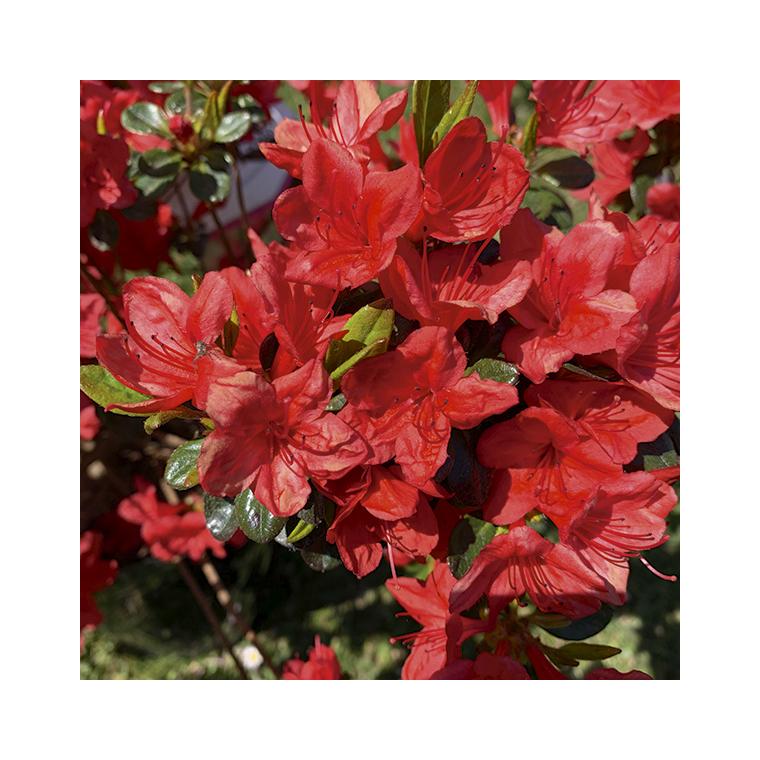 Azalea japonica stewartoniana rouge en pot de 5 L 691422