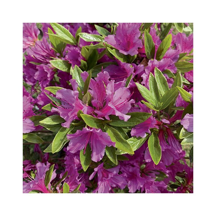 Azalea japonica purple splendour violette en pot de 5 L 691423