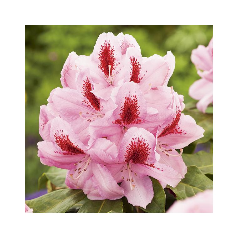 Rhododendron furnivals daughter rose en pot de 7,5 L 691426