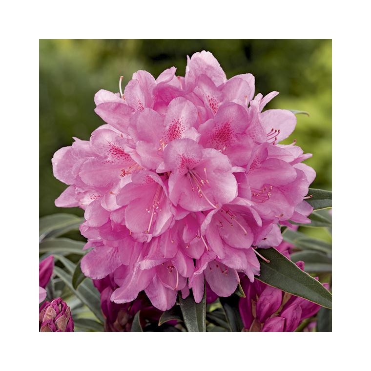 Rhododendron graziella rose en pot de 7,5 L 691428