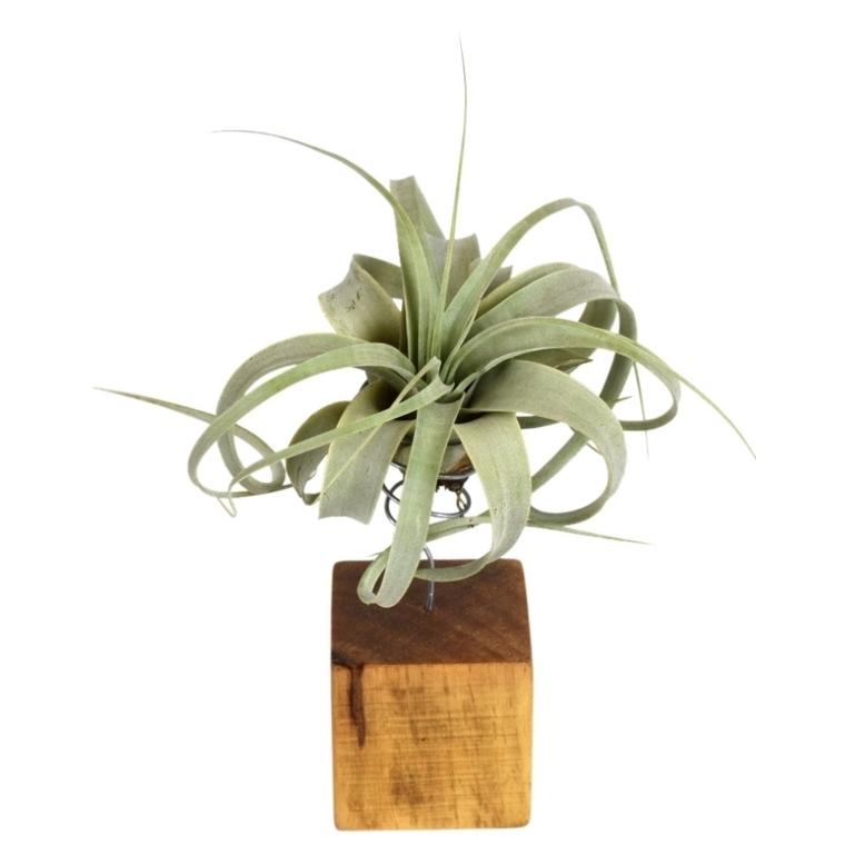 Tillandsia xero vert avec support en bois 25 cm 691851