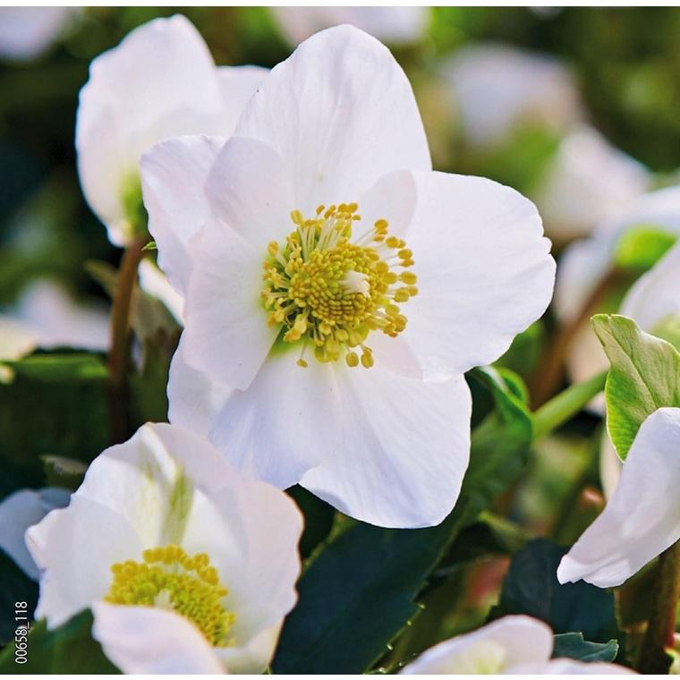 Hellébore (ou Rose de Noël) BLANCHE HGC® JACOB CLASSIC® - Le pot de 1,5 litres 692230
