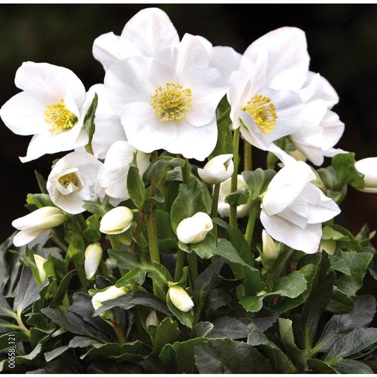 Hellébore (ou Rose de Noël) BLANCHE HGC® JOEL - Le pot de 1,5 litres 692233