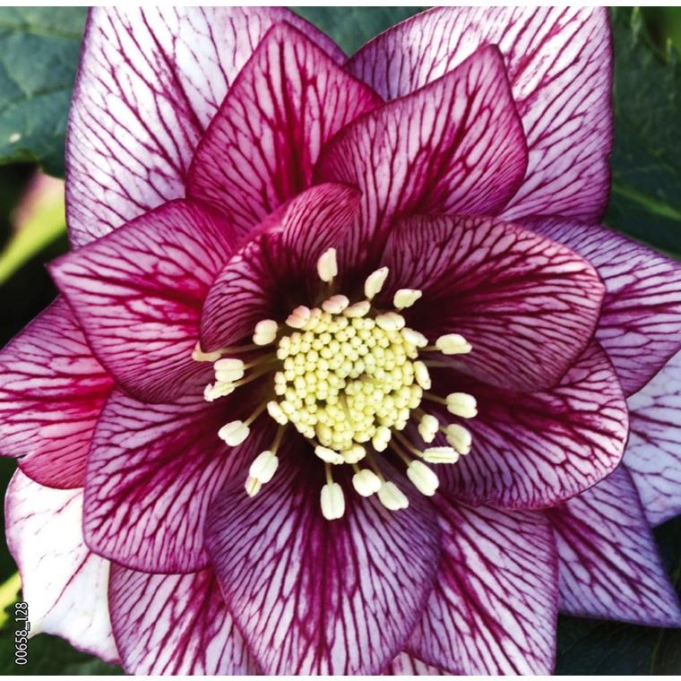 Hellébore (ou Rose de Noël) ORIENTALIS 'SP LILY' - Le pot de 1,5 litres 692240