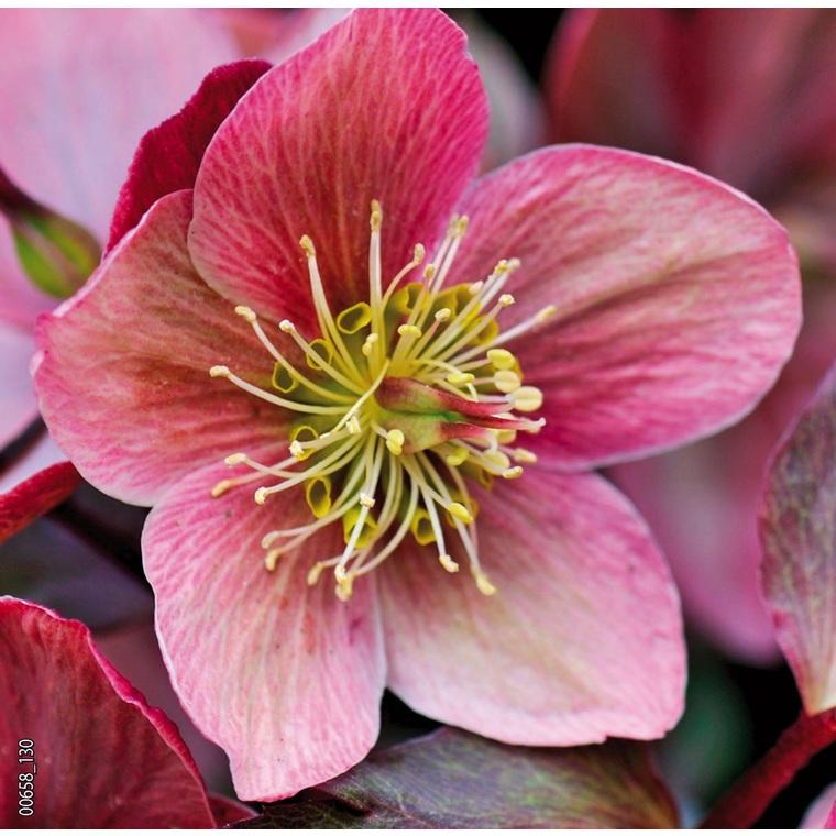 Hellébore (ou Rose de Noël) ORIENTALIS ROSE - Le pot de 1,5 litres 692242