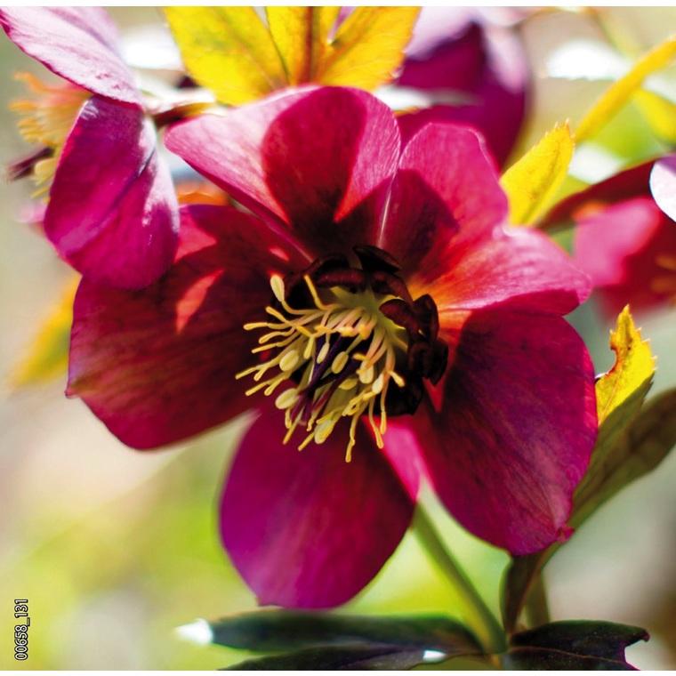 Hellébore (ou Rose de Noël) ORIENTALIS ROUGE - Le pot de 1,5 litres 692243