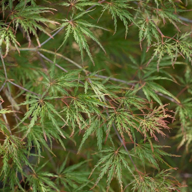 Érable du Japon (Acer Palmatum) Inaba-Shidare. Le pot de 160 litres 694529