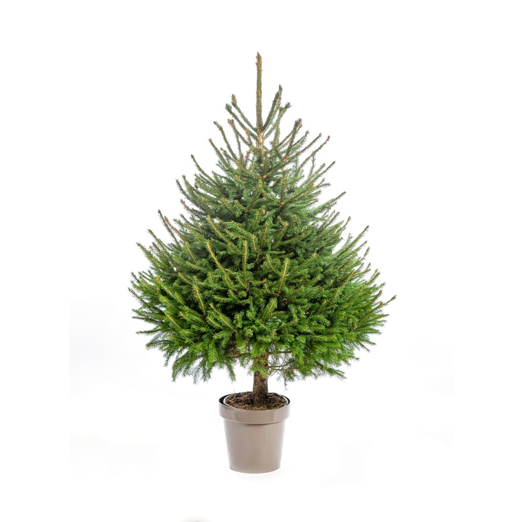 Sapin de Noël en pot Picea Excelsa vert 100/125 cm 695588
