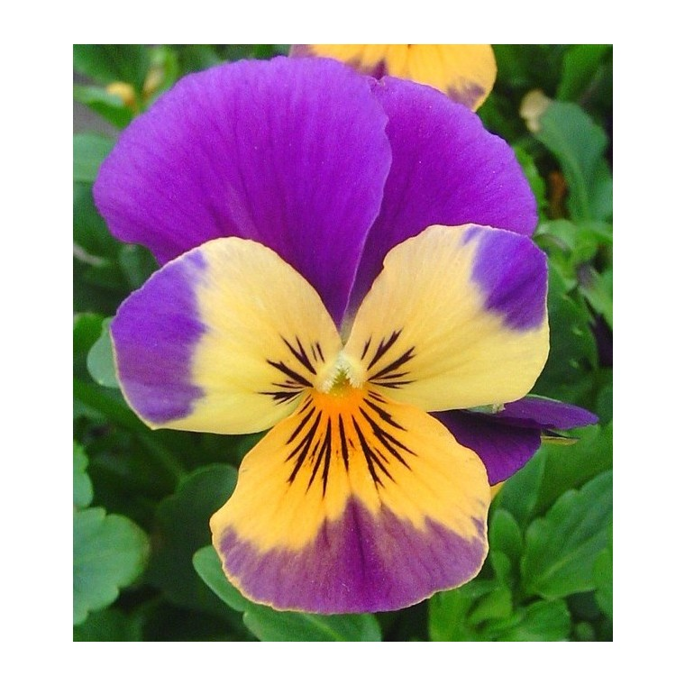 Viola Cornuta. Le pot de 9x9 cm 695717
