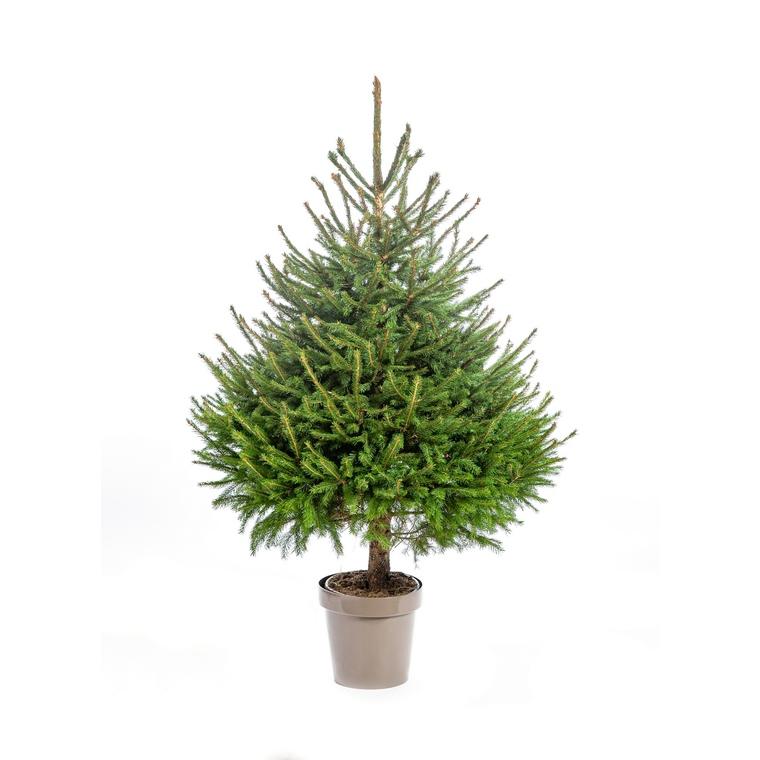 Sapin de Noël en pot Picea Excelsa vert 150/175 cm 696706