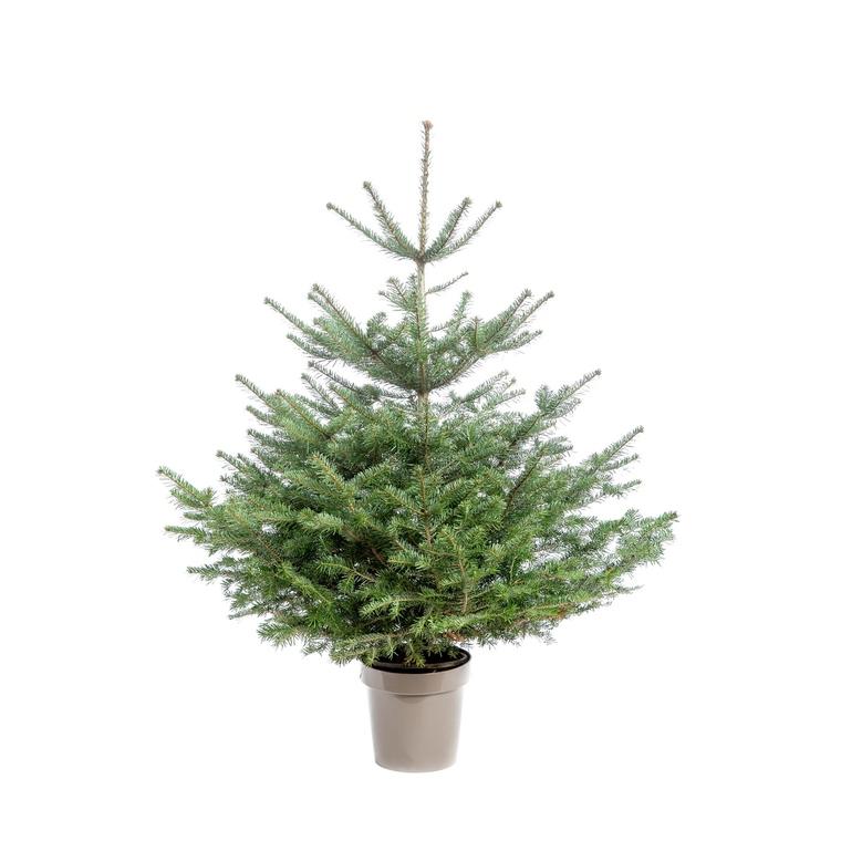 Sapin de Noël en pot Nordmann vert 80/100 cm 696726