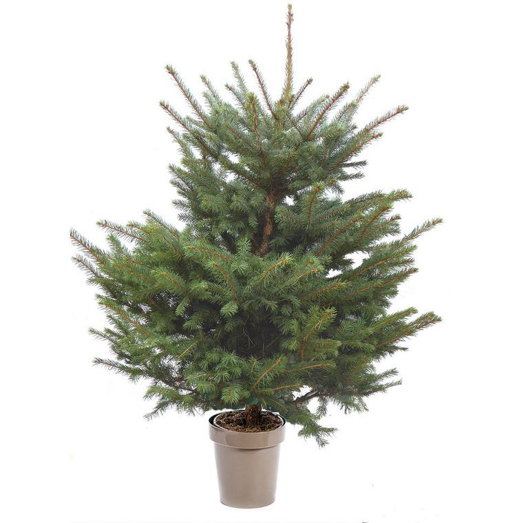Sapin de Noël en pot Picea Pungens bleu 80/100 cm 696731