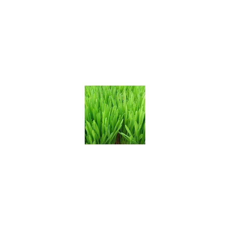 herbe a chat la barquette de 6 plants plantes balcon et terrasse nos produits botanic. Black Bedroom Furniture Sets. Home Design Ideas