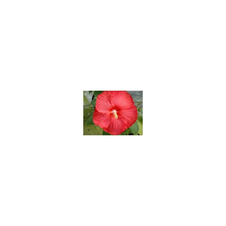Hibiscus Moscheutos. Le pot de 4 litres : Plantes vivaces jardin ...