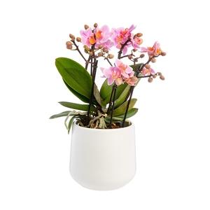 Orchidée Phalaenopsis (Phalaenopsis Boquetto) + cache-pot céramique Ø 12 cm 702563