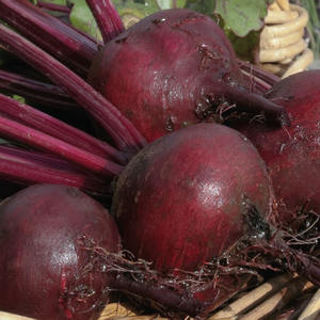 Betterave Rouge Globe bio. La barquette de 6 plants 709381