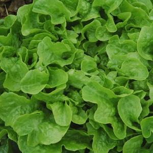Salade A Couper Feuille De Chene Verte Kisheri bio. La barquette de 6 plants 709431