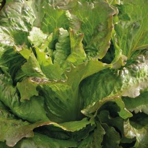 Laitue Batavia Rouge Carmen bio. La barquette de 12 plants 709432