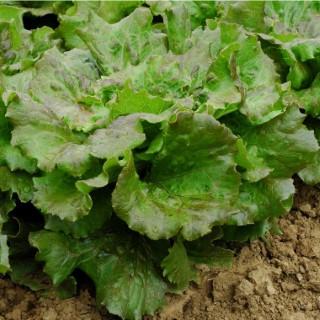 Laitue Batavia Rouge Amboise bio. La barquette de 6 plants 709436