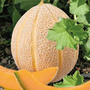 Melon Hales'S Best Jumbo bio. La barquette de 3 plants 709437