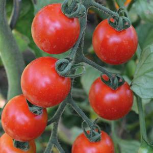 Tomate Cerise Ronde Miel Du Mexique bio. La barquette de 3 plants 709445