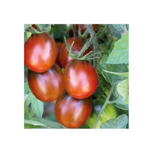 Tomate Allongee Prune Noire bio. La barquette de 3 plants 709451