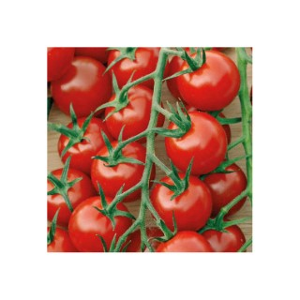 Tomate Cocktail En Grappes Delice Du Jardinier bio. La barquette de 3 plants 709452