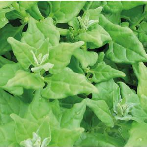 Tétragone Cornue Épinard De Nouvelle Zélande bio. Cartonnette de 1 plant 709476