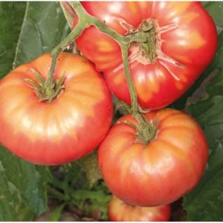 Tomate Cotelée Brandywine bio. Cartonnette de 1 plant 709478