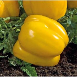 Tomate Allongée Poivron Jaune bio. Cartonnette de 1 plant 709479